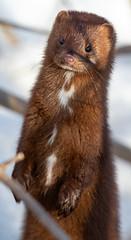 Mink (Laura Erickson) Tags: mink mammals westernwaterfronttrail duluth animals stlouiscounty minnesota places mustelids indianpoint