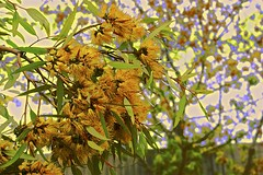 Gum Tree Flowers (maginoz1) Tags: gumtreeflower abstract art contemporary flowers manipulate curves foliage summer february 2019 bulla melbourne victoria australia canon g3x