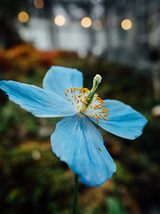アオイケシ (t*tomorrow) Tags: panasonic lumix gx8 14mm flower poppy