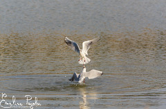 Duel (Emeline P) Tags: sonyalpha77 wildlife wildlifelovers wild animal animallovers etangdeberre salin aigrette cygne swan bird oiseau nature naturelovers faune flore sauvage tamron