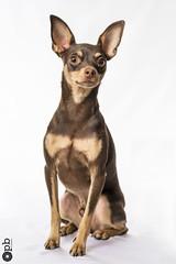 Nestor 2 ans (Philippe Bélaz) Tags: nestor pragois ratierdeprague animal animaux animauxdecompagnie brun chiens chocolat lumièresartificielles portraitsanimalier studio
