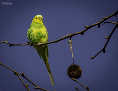 🇪🇸 Budgerigar in the tree near my hotel in Santa Susanna, Spain. Not sure if it's wild or a pet that had escaped. (vickyouten) Tags: budgerigar budgie nature naturephotography wildlife wildlifeinspain wildlifephotography nikon nikond7200 nikonphotography nikkor55300mm santasusanna barcelona catalonia spain vickyouten