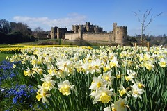 Alnwick Daffodils (WISEBUYS21) Tags: alnwick castle daffodils narcissus blue sky wisebuys21 northumberland northumbria north east england film location for harry potter blackadder transformers the last knight hotspur shakespeare flowers golden carpet sea percy duke duchess newcastle upon tyne favourite garden henry iv landscape panorama park positive