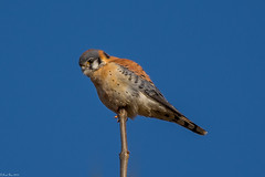 At the top (Fred Roe) Tags: nikond7100 nikonafsnikkor200500mm156eed nature naturephotography national wildlife wildlifephotography animals birds birding birdwatching birdwatcher raptor falcon americankestrel falcosparverius colors outside flickr peacevalleypark