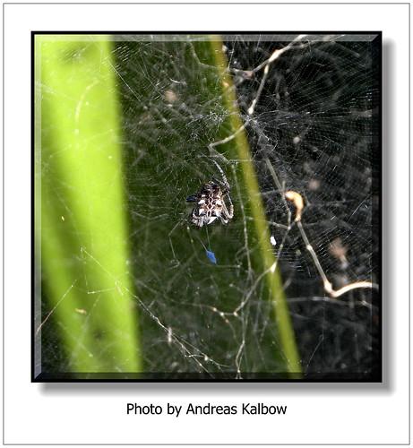 Andreas Kalbow Opuntienspinne Cyrtophora citricola 2019.03.10 Madeira (8)