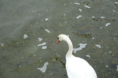 Swan @ Lake Annecy @ Petit port @ Annecy-le-Vieux (*_*) Tags: winter hiver 2019 march afternoon europe france hautesavoie 74 annecy annecylevieux savoie lacdannecy lakeannecy lac lake bird animal swan cygne petitport