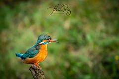 20190407-DSC_3663 (frankreiz) Tags: ijsvogel kingfisher kingfisherhouse frankreiz
