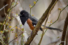 Eastern Towhee (jt893x) Tags: 150600mm bird d500 easterntowhee jt893x male nikon nikond500 pipiloerythrophthalmus sigma sigma150600mmf563dgoshsms songbird towhee alittlebeauty coth thesunshinegroup coth5 sunrays5 ngc
