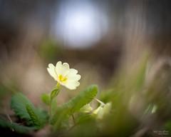 New beginnings (Mr Aylesbury) Tags: countryside canon50mmf18stm buckinghamshire macro flowers nature sonya7iii bokeh closeup wildflowers bucks 2019 karlvaughan spring
