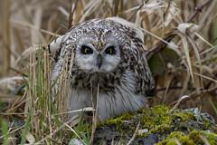 Short-eared Owl / Hibou des marais (shimmer5641) Tags: asioflammeus shortearedowl hiboudesmarais owl búhocampestre birdofprey raptor birdofbritishcolumbia birdsofnorthamerica