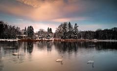 Winter. (augustynbatko) Tags: winter lake water snow nature sky clouds birds swans tree wood park riwer