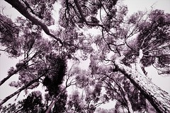 Lève la tête! (ØlivierH) Tags: arbres trees arboles feuilles leaves hojas pink green sky white monochrome monochromatic