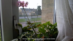Geranium 'Black Prince' cutting flowering in kitchen window 20th March 2019 (D@viD_2.011) Tags: geranium black prince cutting flowering kitchen window 20th march 2019