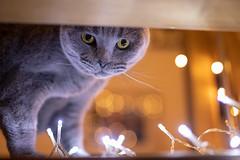 Bokeh Cat (ako_law) Tags: 50mm 50mmf14dghsm 5dmarkiv 5d4 5div amir animals bokeh britischkurzhaar britishshorthair canoneos5dmarkiv cat cats familie kamera kater kateramir katze katzen objects sigma sigma50mmf14dghsm sigma50mmf14dghsma014 tiere