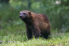 Wolverine posing II (Tambako the Jaguar) Tags: wolverine brown mannal posing standing grass portrait cute munich münchen hellabrunn zoo germany nikon d5