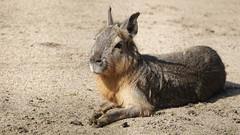 Großes Mara (Dolichotis patagonum) (Harald52) Tags: mara tiere natur tiergartenbernburg