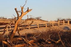 (NatureChaserPhotos) Tags: marconi wellfleet capecod trees sunset beach dune dunegrass sky ocean nature