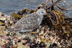 Surfbird 7759 (maguire33@verizon.net) Tags: calidrisvirgata monterey montereybay surfbird bird wildlife california unitedstates us