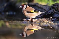 Cardellino _004 (Rolando CRINITI) Tags: cardellino uccelli uccello birds ornitologia avifauna riflesso castellettomerli natura