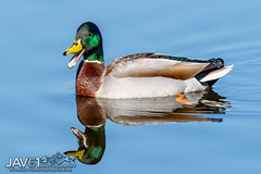 Howdy ... -5717 (George Vittman) Tags: zonhoven limburg belgium be bird duck water reflection nikonpassion wildlifephotography jav61photograpjy jav61