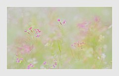 Where the Fairies Dance (Christina's World!) Tags: wildflowers pinkflowers painterly plants pink pastels romantic impressionism simplicity minimalistic feminine nature natureabstract superbloom sandiego california scenic stilllife abstraction textures border white green topaz bright brightcolors flowers bokeh kurtpeiser ethereal fragiletouch coth5 exquisiteimagery