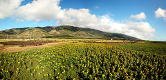 7 shot aerial panorama (Aaron Lynton) Tags: sunflowers sunflower sunflowerfield maui hawaii paradise flowers yellow blue sustainability biodiesel drone dji aerial aerialpanorama mauihawaii mauidrone mauiaerial mauisunflowerfield mauisunflowers hawaiisunflowers mauisunflowerdrone