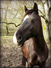 Cethin Black Prince (Essential Resinescence) Tags: welsh horse