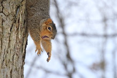 232/365/3884 (January 29, 2019) - Fox Squirrels on a Cold, Snowy Day in Ann Arbor at the University of Michigan - January 29th, 2019 (cseeman) Tags: gobluesquirrels squirrels foxsquirrels easternfoxsquirrels michiganfoxsquirrels universityofmichiganfoxsquirrels annarbor michigan animal campus universityofmichigan umsquirrels01292019 winter eating peanuts januaryumsquirrel snowing snow snowstorm squirrelsandsnow snowysquirrels cavitynest nest leftysquirrel 2019project365coreys yearelevenproject365coreys project365 p365cs012019 356project2019