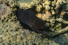 Giant Moray (davee10101) Tags: 2018 fish giantmoray gymnothoraxjavanicus kandholhu maldives moray