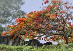 Todo Fluye - Everything flows. (frank olayag) Tags: flamboyant flamboyan framboyan delonisregia arboldelallama naturaleza arbol color naranja valencia venezuela frankolaya nikond5300 the best of nikon thebestofnikon