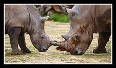 Zoo 3a (1Blackwatch) Tags: rhino nikon 200500 animals
