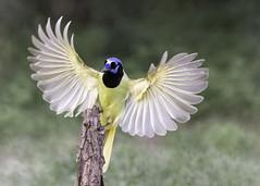 Green Jay (Tomingramphotography.com) Tags: greenjay riograndevalley texas santaclararanch flight nature wild nikon highiso bif