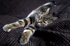 Séance photo avec Tigrette  2 (Evim@ge) Tags: chat cat pet cute mignon tigré « animal de compagnie » intérieur intérior