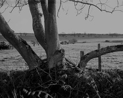 Tree and Fence.Walker Titan SF with Rodenstock 150mm Lens, 1/8 sec @ f32, Ilford Delta 400 in FX39 (Jonathan Carr) Tags: tree trees ancientwoodland hyonswood largeformat monochrome blackandwhite walkertitansf delta100 landscape rural northeast 4x5 5x4