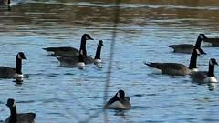 P1330299 oiseau aquatique 23 (lac oie bernache du Canada groupe nage cri) Montesson (jeanchristophelenglet) Tags: montessonfranceparcdépartementaldelaboucledemontessonétangdel'epinoche laceau lakewater lagoagua oiebernacheducanada canadagoose gansocanadense