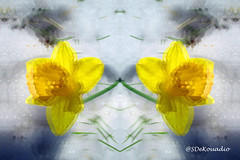 Daffodil & Snow (Stephenie DeKouadio) Tags: art artistic artwork painting hypnotique snow daffodil yellow colorful abstract abstractart abstractflower abstractflowers abstractpainting macro macroabstract macropainting flower flowers flowersabstract flowerabstract beautiful beauty