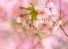 Early cherry blossoms ✿ (Tomo M) Tags: kawazusakura cherryblossom pind spring bokeh happy petal 河津桜 松田山 trioplan soft dreamy pastel