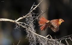 Cardinal Flight (agnish.dey) Tags: bird birding birdwatching bokeh birdsinflight cardinal naturallight nature naturephotograph nikon naturethroughthelens coth animalplanet florida wildlife tree d500
