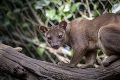 Fossa (DeanB Photography) Tags: 1dx 2019 animals canon deanb duisburg sigma sigma150600 tier tiere tierpark tierwelt zoo animal tierfotograf fossa frettkatze raubtier