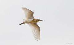 Squacco Heron in flight -7462 (Theo Locher) Tags: ardeolaralloides birds crabierchevelu oiseaux rallenreiher ralreier ralreiger squaccoheron vogels vögel krugernationalpark kruger southafrica zuidafrika copyrighttheolocher