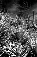 Windswept Yucca:  Saguaro National Park (jswensen2012) Tags: arizona sonorandesert desert saguaronationalpark saguarocactus cactus ocotillo yucca yuccaelata soaptreeyucca