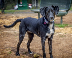 Bark Park Rosie, 2019.03.12 (Aaron Glenn Campbell) Tags: blacklab puppy shelter foreverhome barkpark missrose doggo pupper portrait knoxcounty knoxville tennessee depthoffield shallow bokeh sony a6000 ilce6000 mirrorless canon ef50mmf18ii primelens fotodiox lensadapter