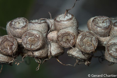 Melaleuca cajuputi (Cajeput)
