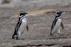 Magellanic Penguins (Linda Martin Photography) Tags: bird wildlife saundersisland spheniscusmagellanicus southatlanticocean falklandislands magenallicpenguin nature ngc coth naturethroughthelens specanimal alittlebeauty coth5 npc