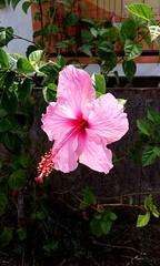 Hibisco (heavencamilasv) Tags: hibisco flor flower flordehibisco pink color rosado love summer easterisland isladepascua verano isla chile green brillo shine