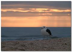 Pacific Gull (Betty Vlasiu) Tags: pacific gull sternidae larus pacificus bird nature wildlife chincoteague island