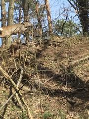 Jump my deer! Jump! (verblickt) Tags: deer forest wildlife austria loweraustria