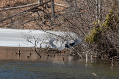 ashleyreservoir2019-5 (gtxjimmy) Tags: nikond7500 nikon d7500 tamron 150600mm newengland holyoke massachusetts watersupply reservoir heron bird greatblueheron