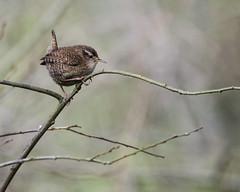 Wren (Mel Low) Tags: wren bird britishwildlife suffolkwildlifetrust northcove nikond7000