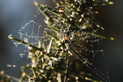 Decorated Gorse (Mark Wasteney) Tags: happywebwednesday hww wed cobweb spider gorse dew waterdrops